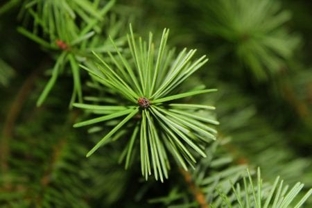 We remove Christmas-tree needles